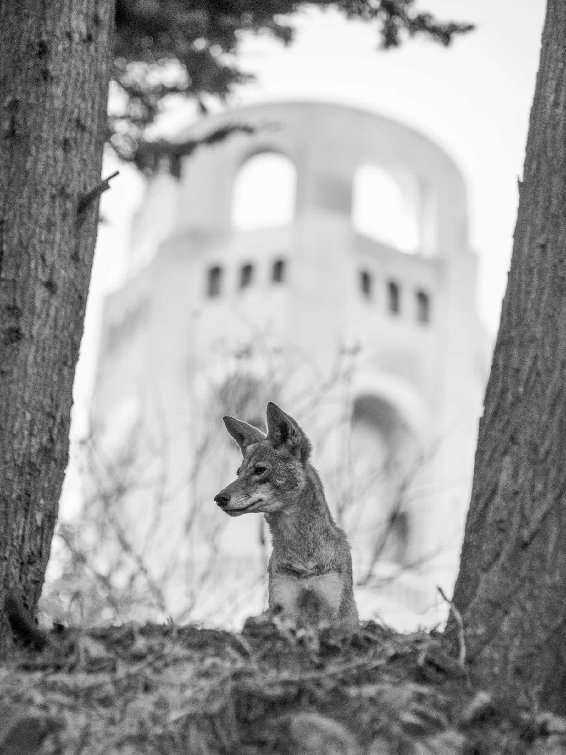 Coyote in front of Coit Tower